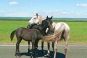 Бурятские кони