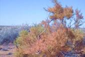 Тамарикс осенью