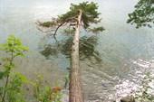Падающая сосна на берегу Гамбозера