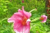 Пион уклоняющийся. Марьин корень (лат. Paeonia anomala)