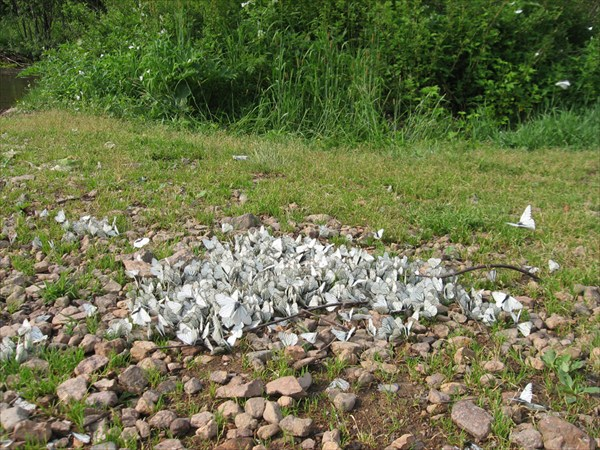 Боярышница (Aporia crataegi)
