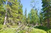 Коряга в лесу