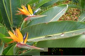 Символ Мадейры - цветок Стрелиция