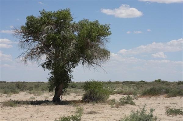 Чинары в песках