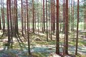 лес на западе Вологодчины