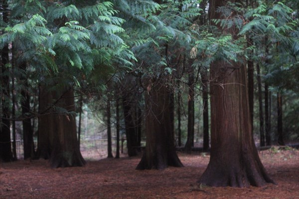 Загадочные деревья (Туя Гигантская)