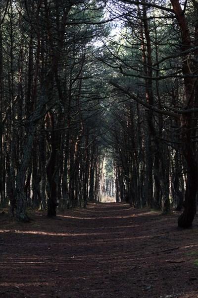 Аллея в танцующем лесу