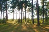 Сосновый бор в Зельве
