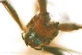 жук усач
