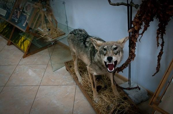 Чучело местного волка в музее Куршской Косы
