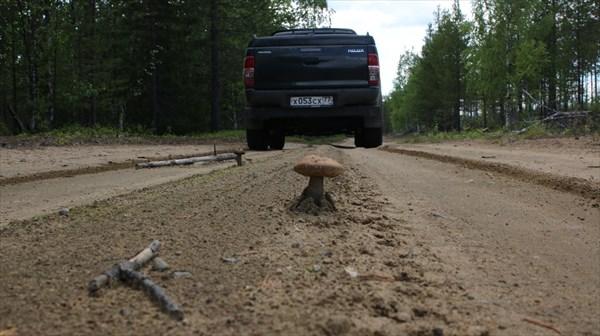Подосиновики растут прямо на дороге