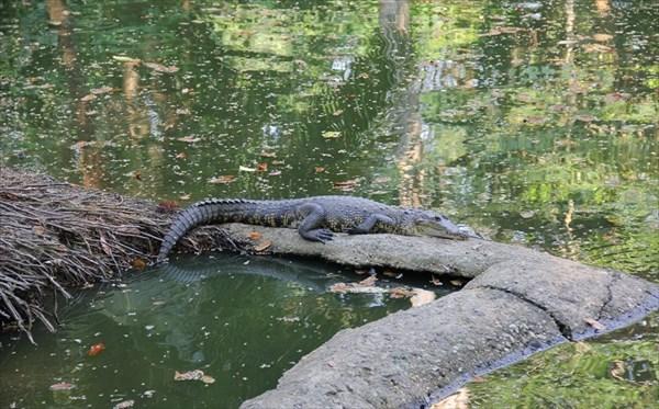 083-Крокодил