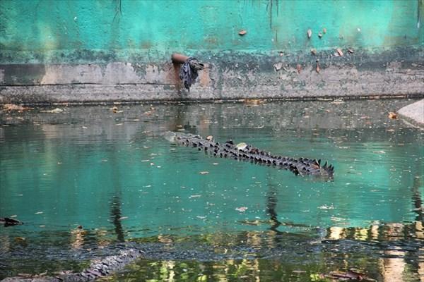 084-Крокодил