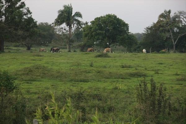 122-Коровы