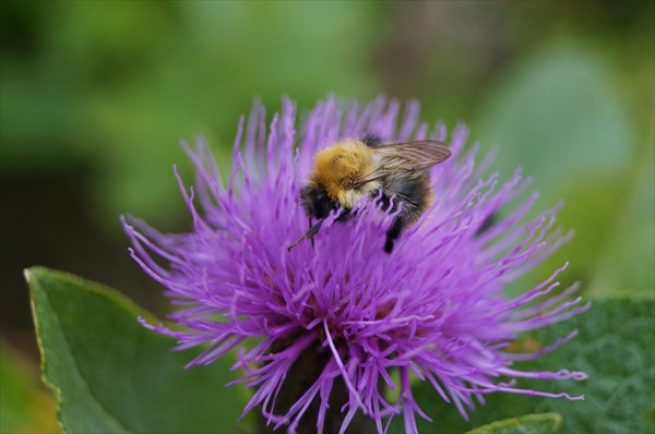 Еще одна заполярная пчела