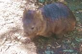 Вамбат - сумчатый мишка ростом с сурка