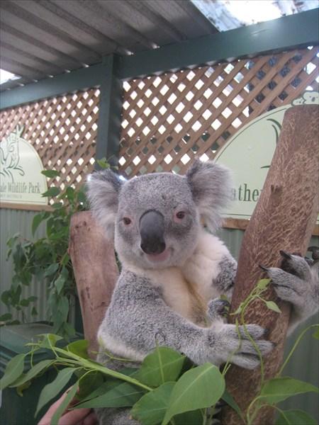 Этот коала работает мягкой игрушкой. Его можно гладить и тискать