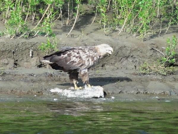 Орел не гнушается падалью.