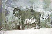 Туранский тигр