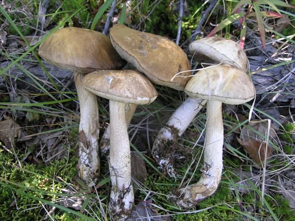 Белые грибы попадаются редко.
