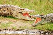 Крокодилы отдыхают