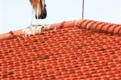 Марабу на крыше здания