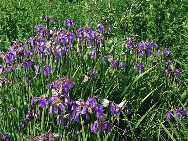 Цветы Якутии. Ирис щетинистый (Ирис арктический)