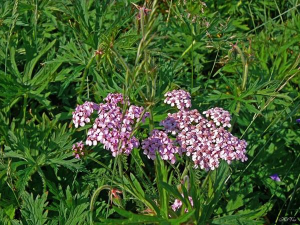 Цветы Якутии. Тысячелистник обыкновенный