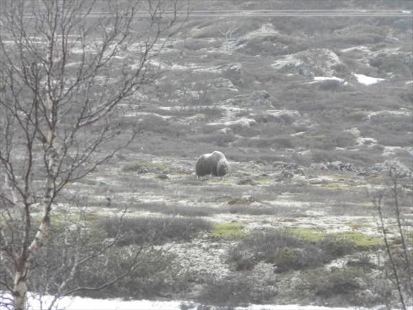 Дикий овцебык