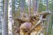 Странный корень
