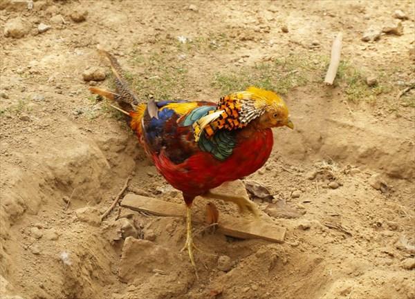 Местная курица