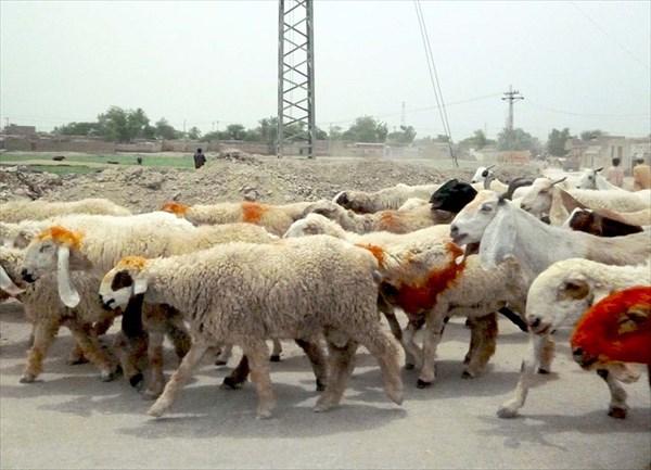 Прямо по шоссе гонят овец,...