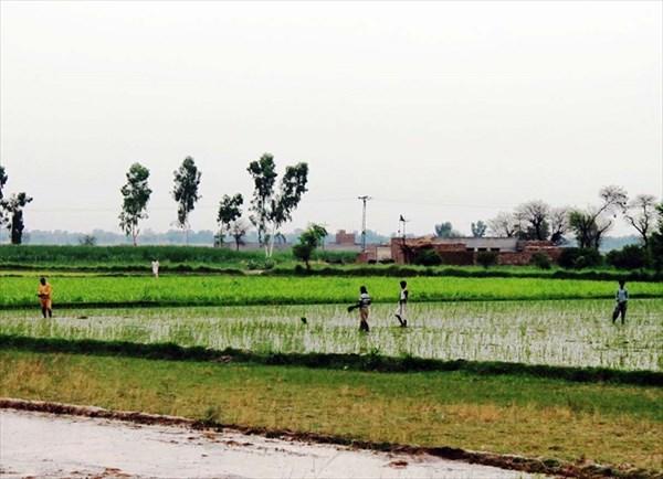 Посадка риса
