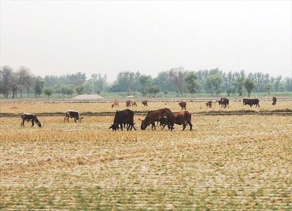 Выпас скота на убранных полях