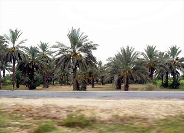 Пальмовые рощи