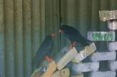 красные клювы