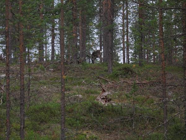 Финский олень пришел в гости к нам в лагерь