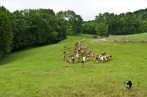 За пастухом в лес. Франция