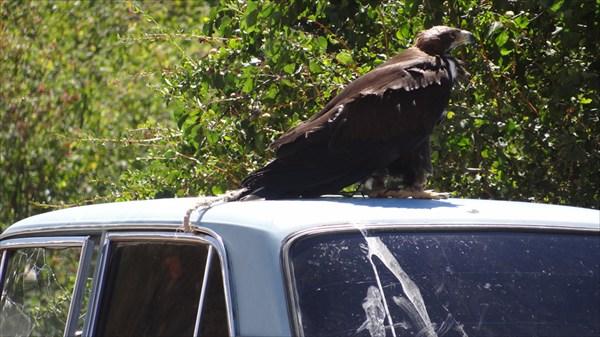 Привязанный орел