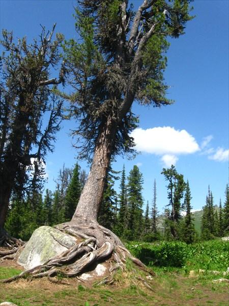Дерево-спрут
