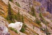 Горный козёл
