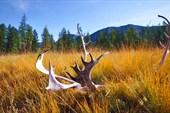 Бренные останки оленя