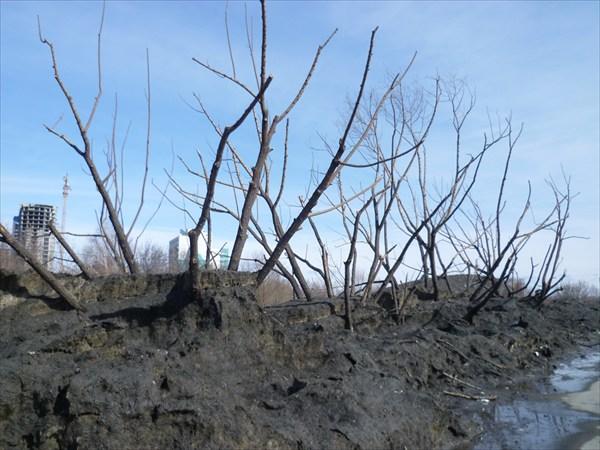 Мертвый лес Барнаула