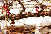 2013-01-06--15-46-31 Виноградные лозы в монастырском дворике.