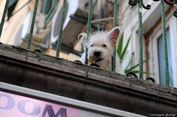 Веселая собака на балконе, играющая с туристами