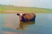 Корова в реке