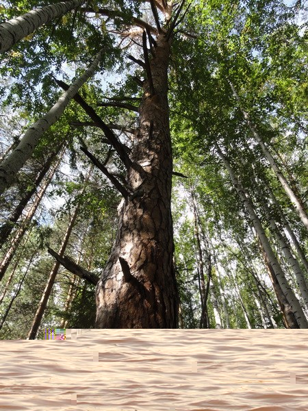 Деревья-великаны.
