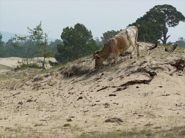 Корова на барханах