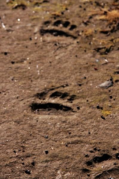 Здесь шел медведь