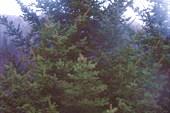 Местная елка.